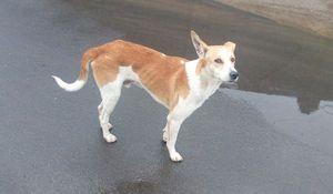 Indian Pariah Dog Breed Information | IndianDogsBreed.com