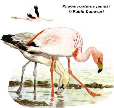 Flamenco puneño Phoenicoparrus jamesi