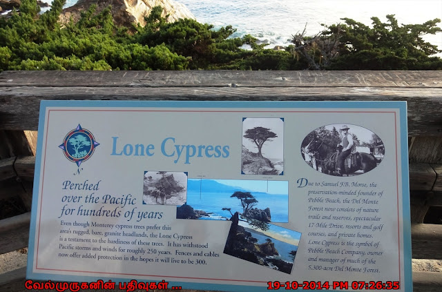 Monterey Cypress Tree
