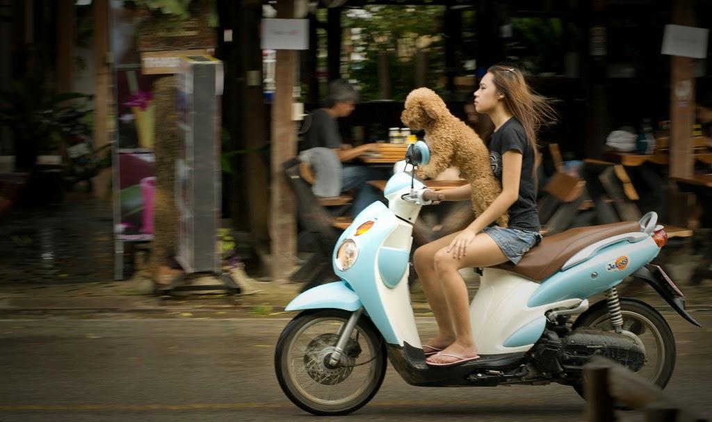 Пудель на скутере Таиланд