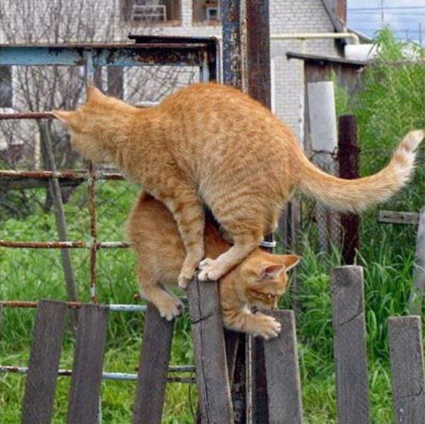 Funny Cool Pictures: Two Cats One Fence