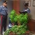 Rutigliano (Ba). Coppia dal pollice verde arrestata dai carabinieri