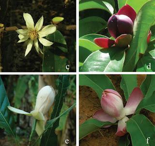 รายชื่อต้นไม้ สกุลแมกโนเลีย Magnolia (จำปี, จำปา, มณฑา, ยี่หุบ) ของไทย