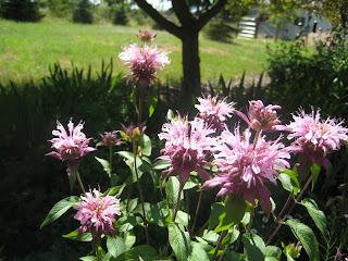 Bee Balm, Monarda