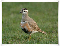 Dotterel Animal Pictures