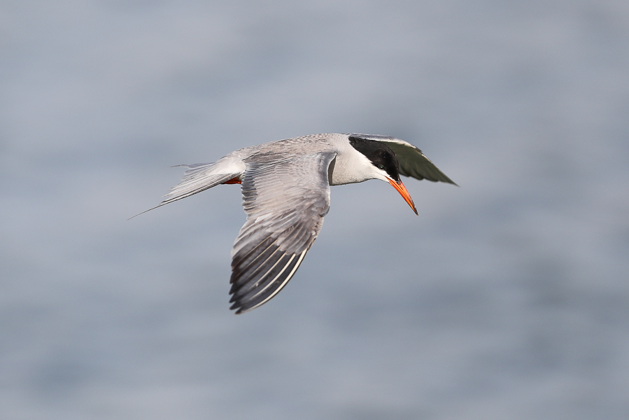 White-cheeked Tern