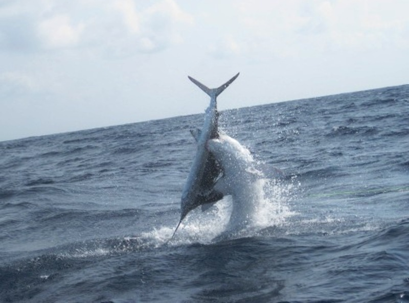 International Fishing News: USA: Mako shark attacks a sailfish