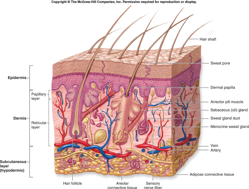 skin anatomy diagram arm anatomy&phys: integumentary system skin cell diagram label