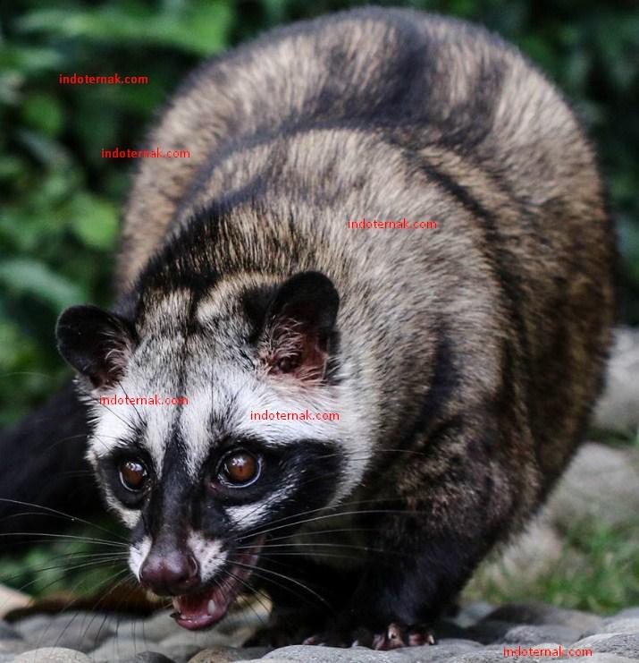 Gambar Musang Pandan Ala Model Kini