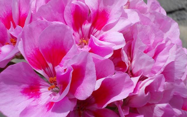 Mooie roze bloemen achtergrond