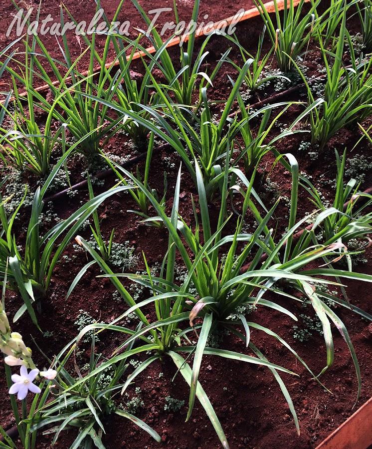 Siembra de la planta ornamental Vara de San José, Polianthes tuberosa