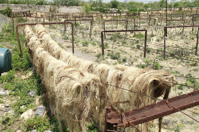 el sosquil o sisal de la fibra de henequén