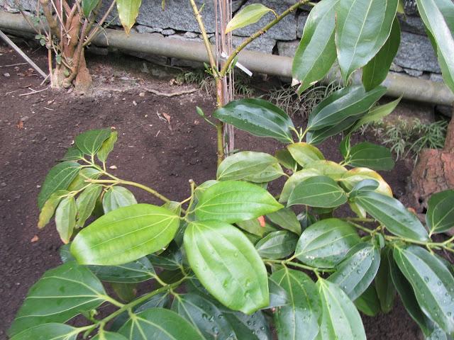 Cinnamomum zeylanicum in Serra in Italia