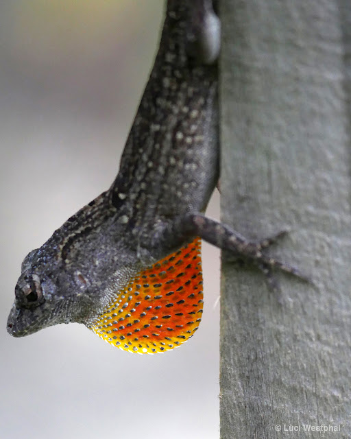 Male brown anole lizard.