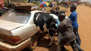 Cow Into A Small CAR