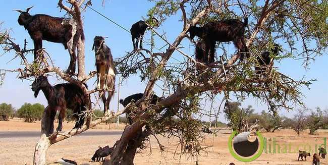 Maroko: Kambing pemanjat pohon