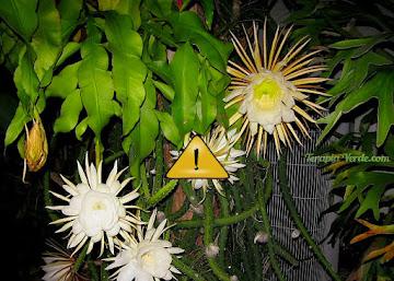Contraindicações da Flor-da-noite - cacto