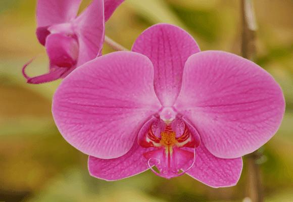 Flora-Orquídea