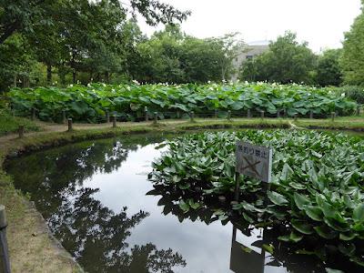 花博記念公園鶴見緑地 ため池 ハス池