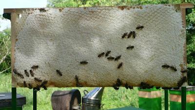 Μετκάλφα (Metcalfa pruinosa) το έντομο που γεμίζει ασφυκτικά τις κυψέλες μέλι