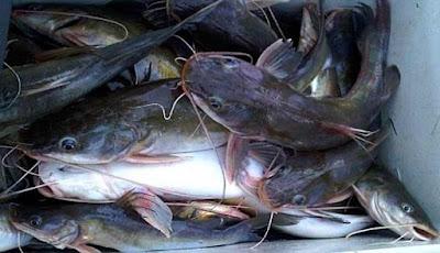 Mengenal Ikan Baung