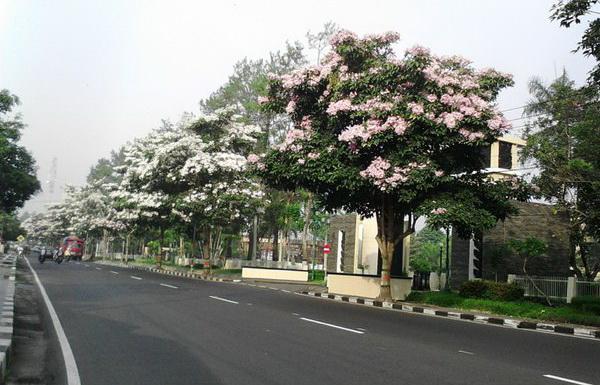 Pohon Berbunga ala Jepang, Tumbuh Subur di Magelang