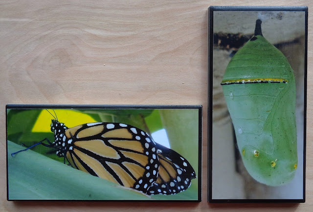 Monarch butterfly and chrysalis photos on subways tiles