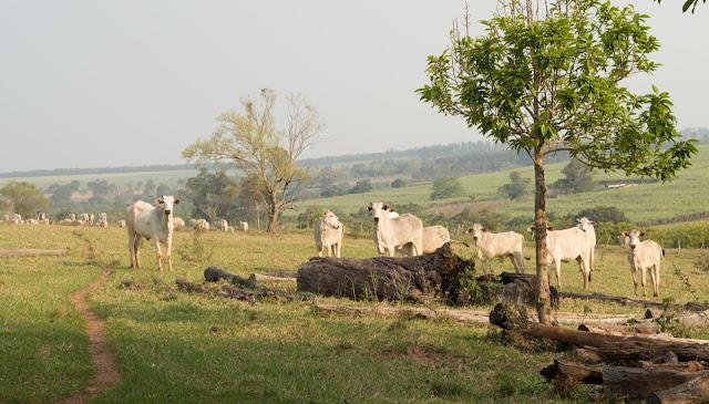 rebanho de vacas pastando