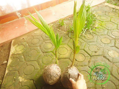 FOTO 1 :    Bibit kelapa Kopyor Hijau dan Kuning