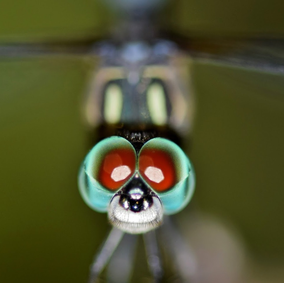 Picture of dragonfly eyes.