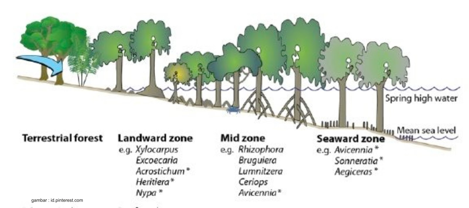 Tipe Tipe Vegetasi Mangrove