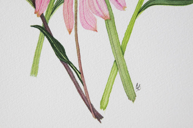 coneflowers, watercolor coneflowers, echinacea, echinacea painting, floral watercolor, botanical illustration, botanical watercolor, Anne Butera, My Giant Strawberry