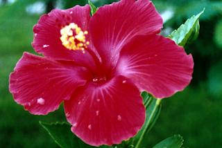 Bunga Nasional Malaysia