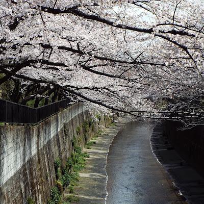 石神井川 加賀橋の桜