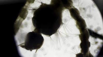 Virus Zika lebih cepat menyebar pada musim penghujan