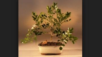 Mini Murraya Paniculata Mame Bonsai