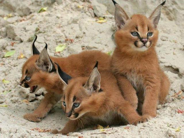 Um caracal selvagem vive cerca de 12 anos, mas em cativeiro pode chegar aos 17 anos. Apesar de sua aparência lembrar a de um lince, este gato selvagem é parente próximo do serval.
