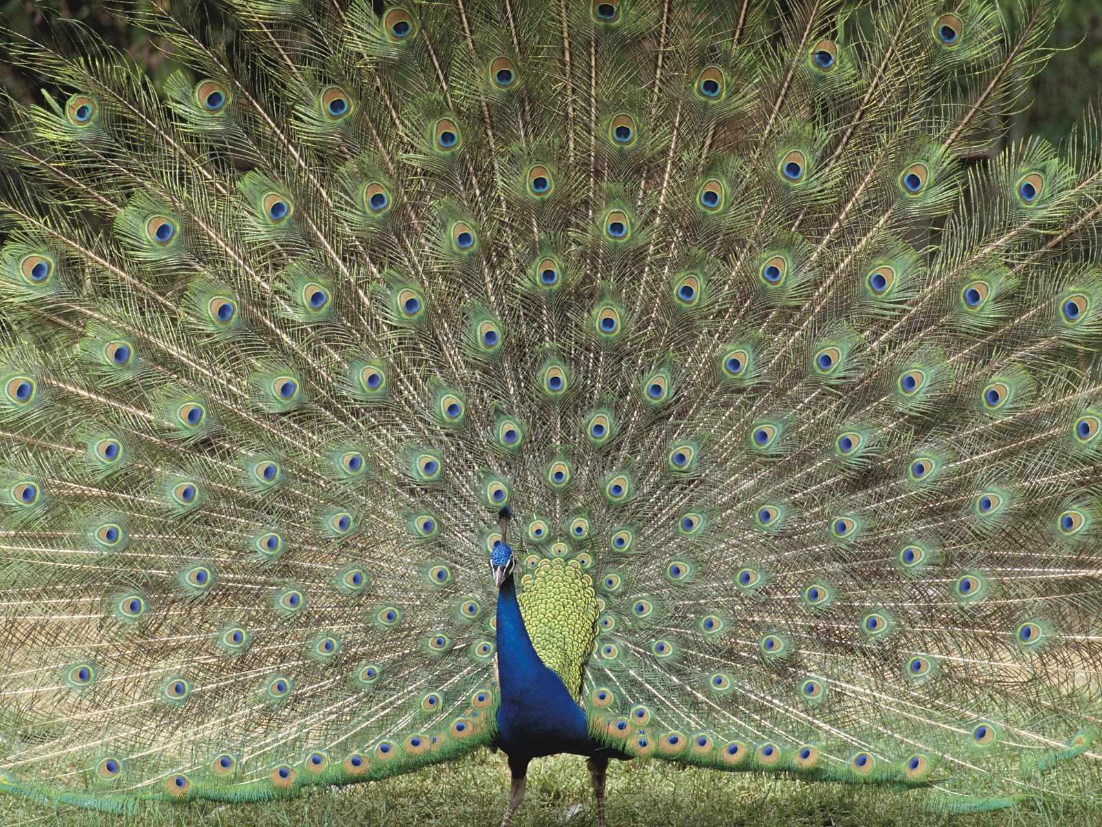 P 225 Jaros Ex 243 Ticos Wallpapers O Fondos Aves Hermosas Birds
