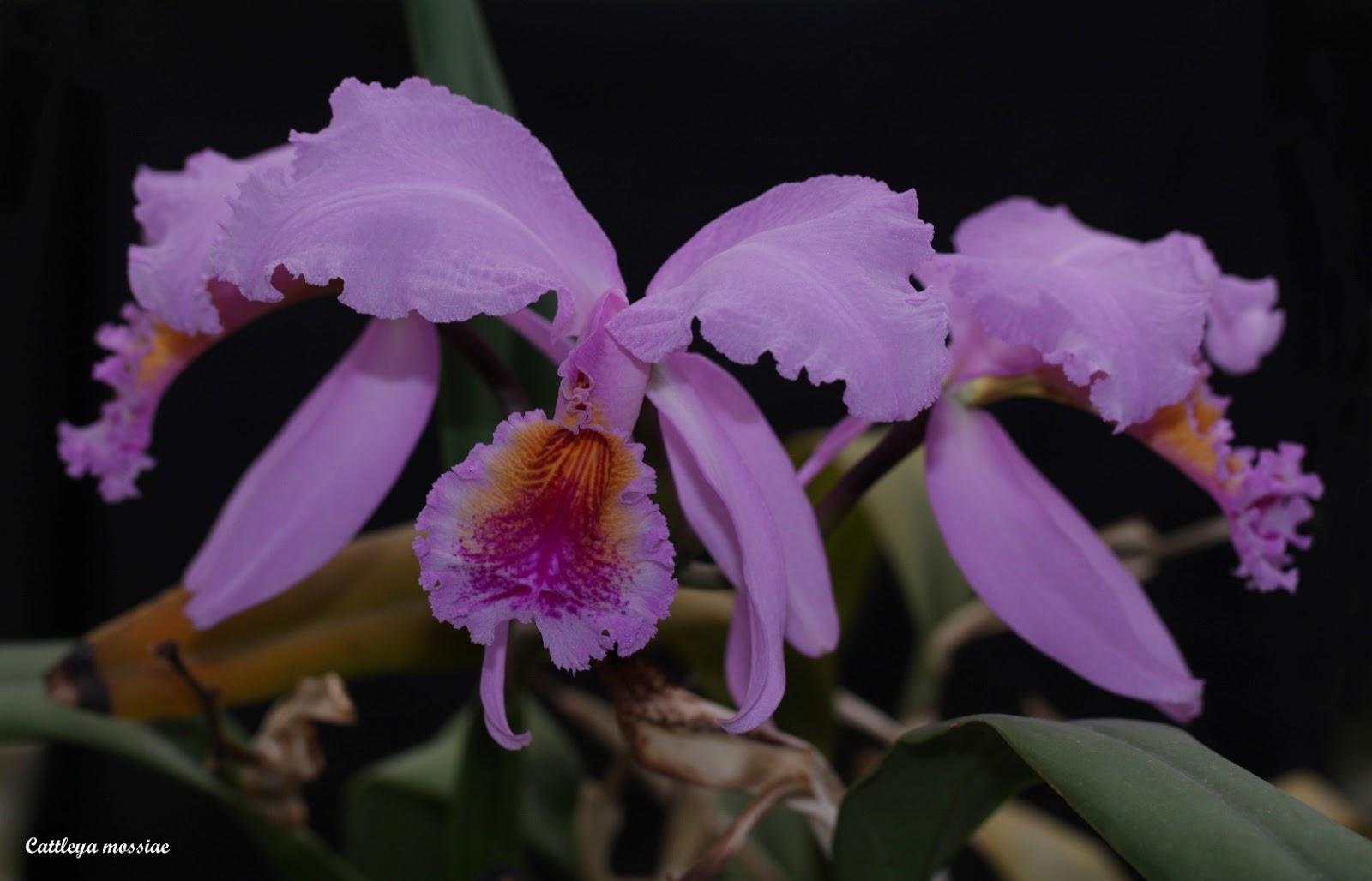 Cattleya mossiae IMG_9126b%2B%2528Large%2529