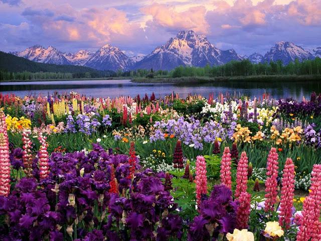 O lupino é uma planta de ramos de flores vistosas e chamativas, usada em ornamentação de quintais e jardins.