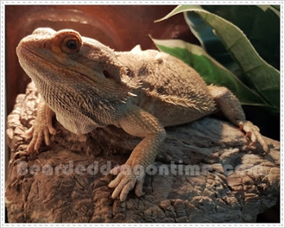 Tell if bearded dragon male female