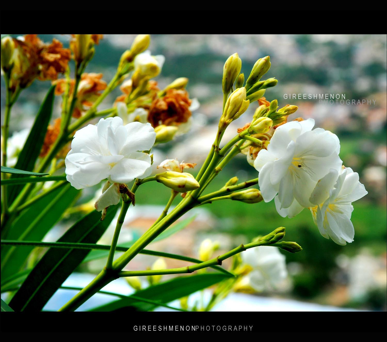 Flowers Gireeshmenon ചുവന്ന അരളി Red Arali Oleander