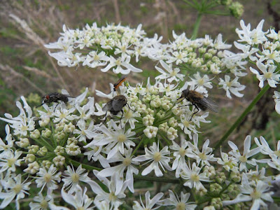 Flies feeding on white flowers