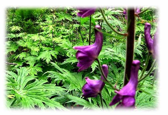 Plantas venenosas - Erva de Lobo (Aconitum Lycoctonum)