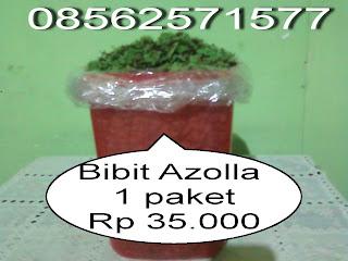 Jual Bibit Azolla Microphylla 1 Paket 35.000