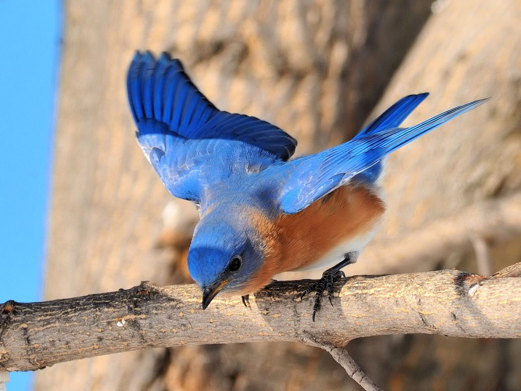 Free Bluebird Wallpaper For Desktop: Funny Image Collection: Tropical Blue Bird Desktop Wallpaper