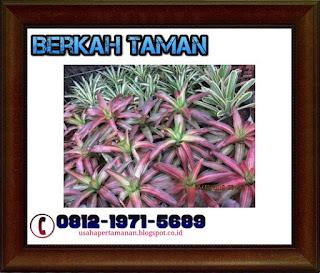 POHON BROMELIA ( Bromeliaceae ) - Tanaman hias taman
