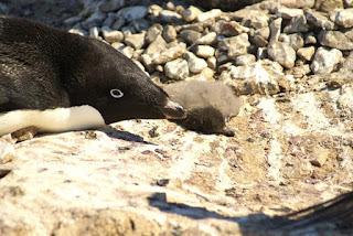 adelie penguin, penguin, penguin chick