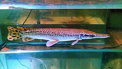 Inilah Dasar Dasar Perawatan Ikan Aligator Yang Benar