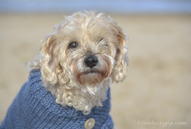 Ruby, the rescued Yorkie-Poo in her blue sweater